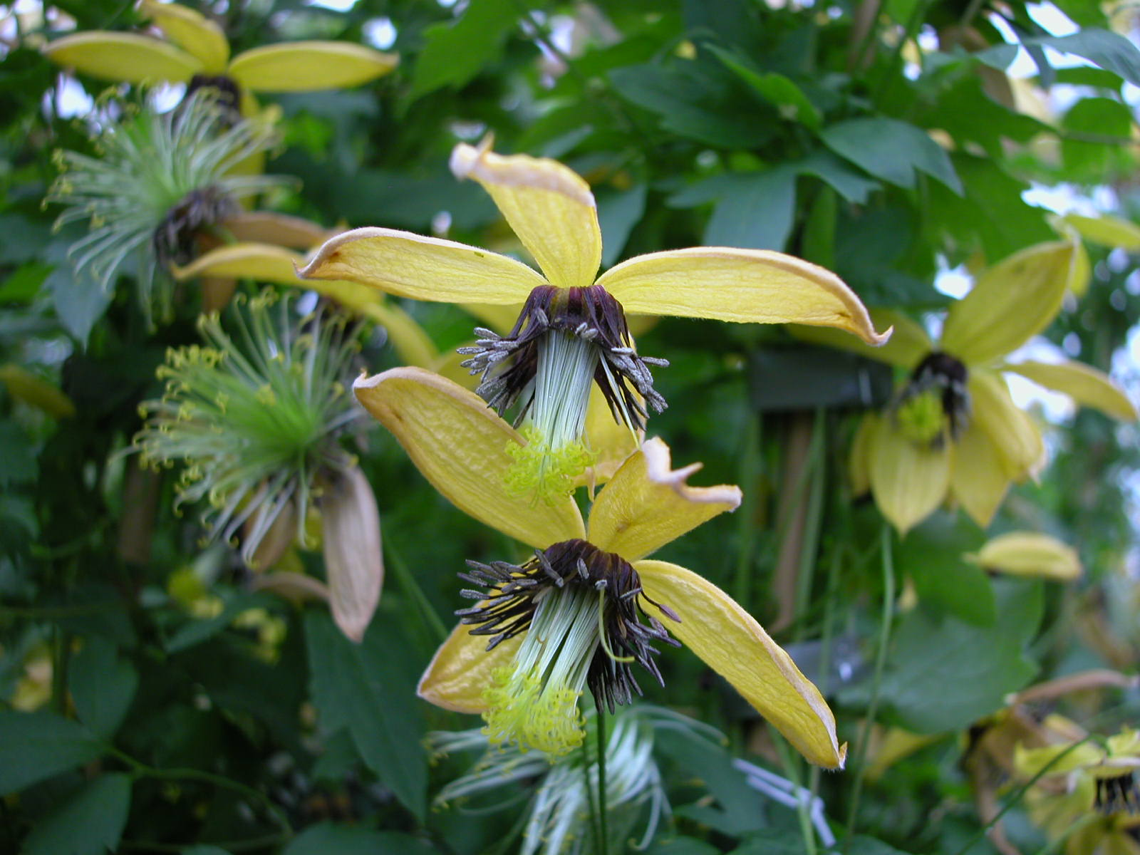 Clematis Tangutica Group Www Be