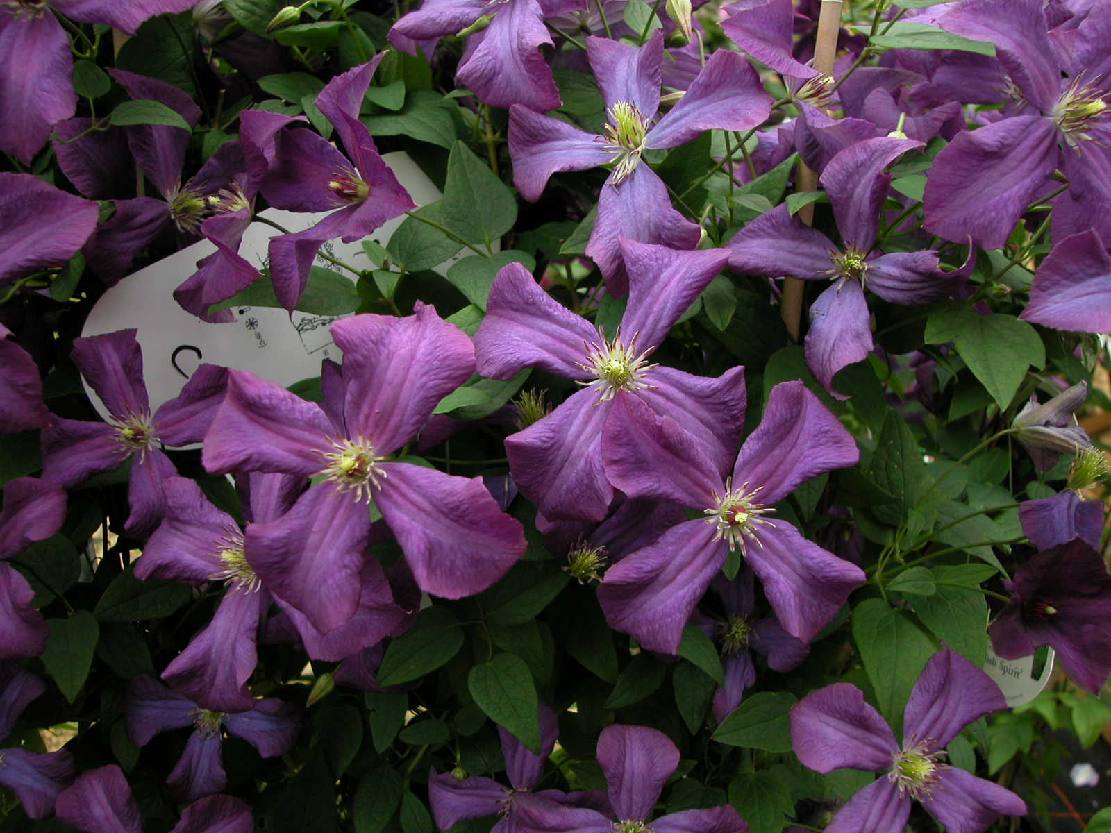 Clematis viticella group - Clematis viticella ...